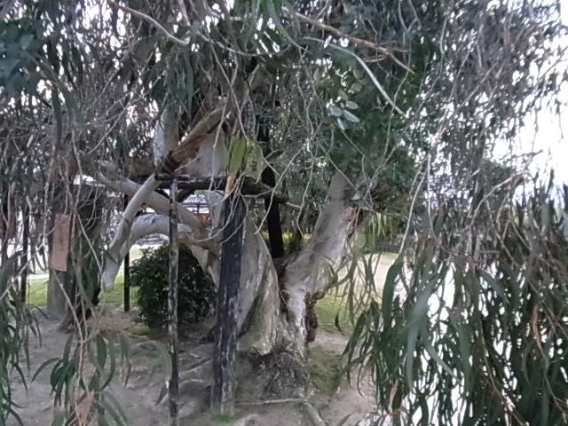 広島城内の被爆した木